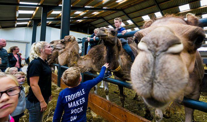 Kamelenbedrijf Smits in Berlicum gaf vrijdag weer een kamelensafari, door corona met veel minder bezoekers dan normaal.
