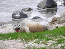 Zeehondenpups 'praten' net als mensen