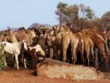 Australië schiet voor de veiligheid ruim 5000 dorstige dromedarissen af