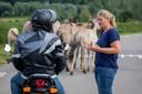 Op de weg naar Slot Loevestein hebben de dieren voorrang. Het verkeer moet wachten. Tanja de Bode legt het meerdere keren per dag uit.
