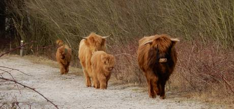 Schotse Hooglanders op groenstrook Roosendaal