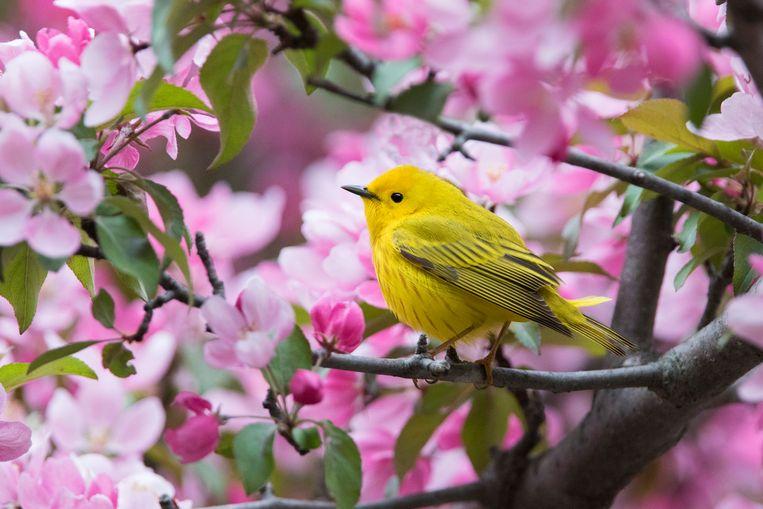 De Yellow warbler of gele zanger is een trekvogel en trekvogels zijn er in het algemeen steeds minder.