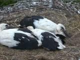 Kleintjes gered na dood ooievaar op A28