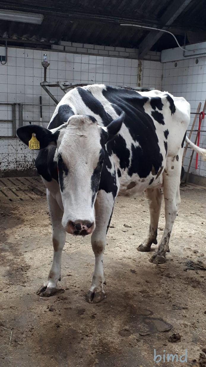 Koe Anna van melkveehouderij H.P. van Staalduinen in Maasland werd ziek van blik.