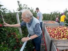 Bertus (84) haalt met al meer dan 70 jaar plukervaring appels uit de Rhenense boomgaard