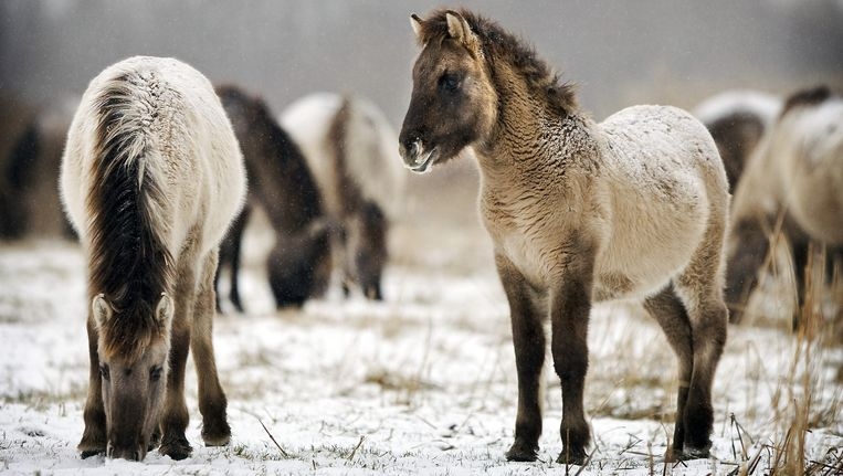 Konikpaarden bij de Oostvaardersplassen. Beeld anp