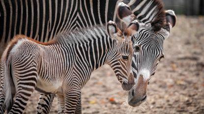 Zeldzame zebra geboren in Planckendael