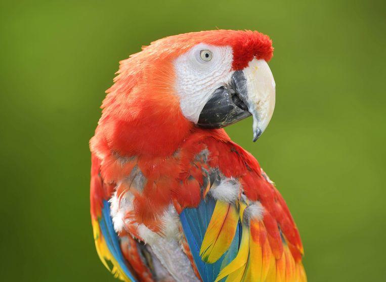 Illustratiebeeld papegaai
