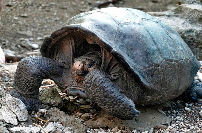 De reuzenschildpad op Galapagoseiland Fernandina blijkt toch niet uitgestorven.