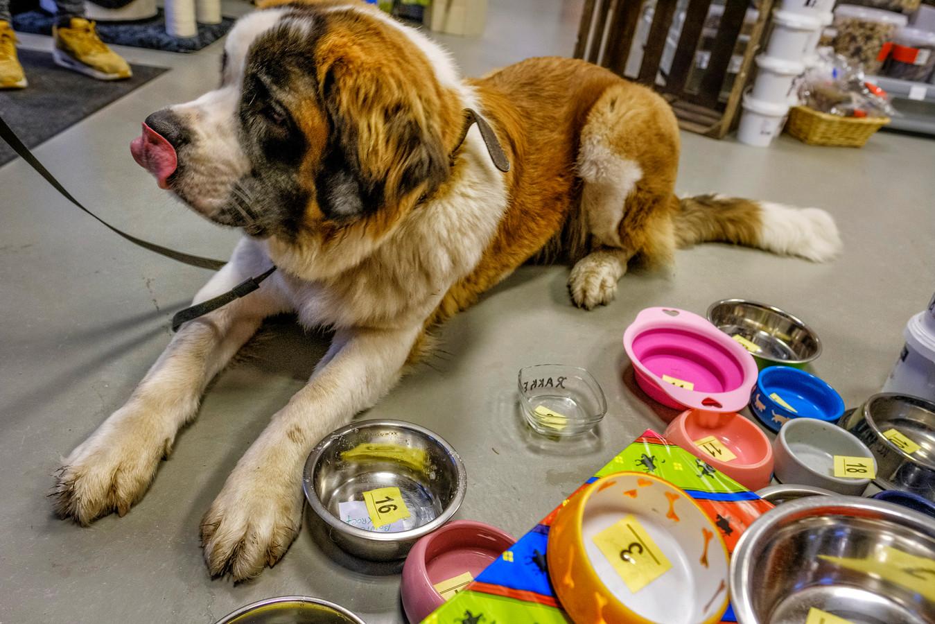 Een sint-bernard in een dierenspeciaalzaak tussen de hondenvoerbakken. Deze archieffoto is niet genomen in de dierenwinkel vab Van Vugt in Drunen.