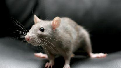 Stad neemt maatregelen na melding over rattenplaag