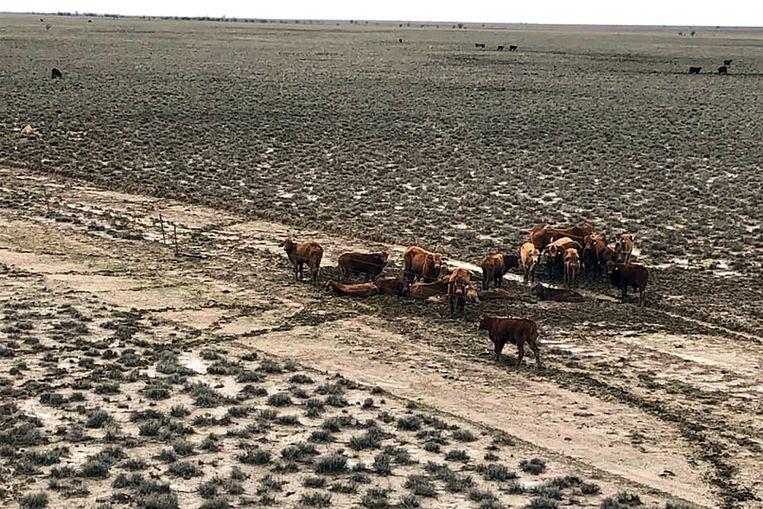 Deze runderen wisten te overleven nabij Julia Creek.
