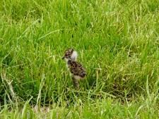 Reddingsactie voor Maas en Waalse weidevogel