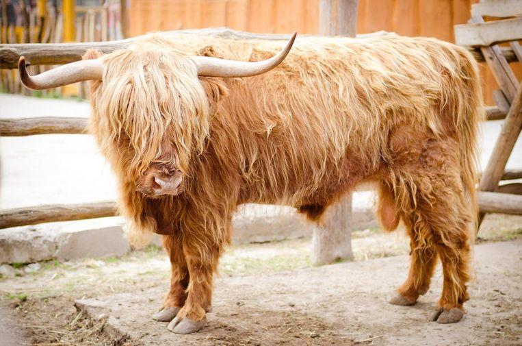 Een Schotse Hooglander Beeld