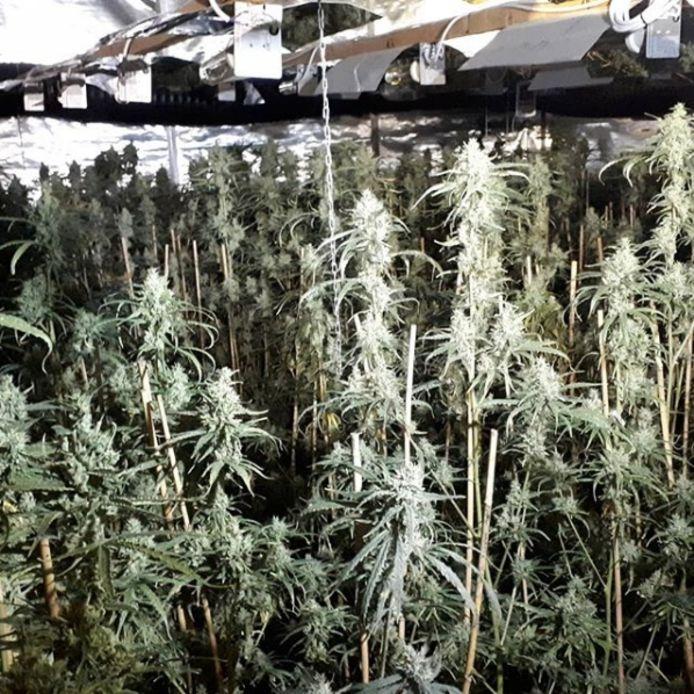 In het bedrijfspand in Terneuzen werden twee ruimtes met elk 316 wietplanten aangetroffen.