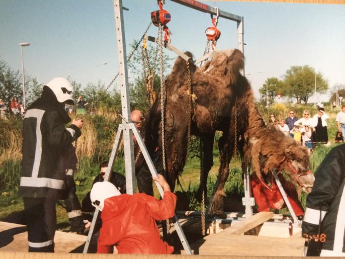 Deze verdwaalde kameel stond enkele jaren geleden tot aan zijn bulten toe in het water van een sloot in Sprang-Capelle. De reddingsoperatie trok veel bekijks, ook van een dankbare circusdirecteur die het brandweerkorps trakteerde op vrijkaartjes.
