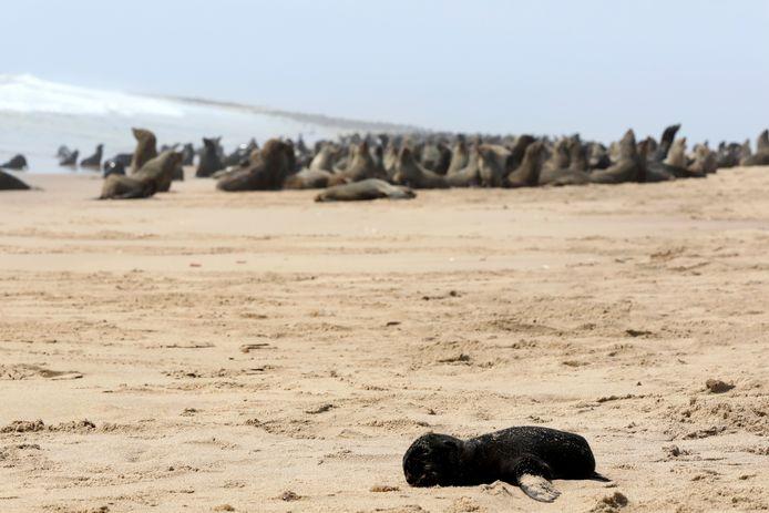 Nog een dode pup. Op de achtergrond een levende groep robben.