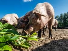 Nieuw proefdiner voor varkens in Bathmen: de Japanse Duizendknoop