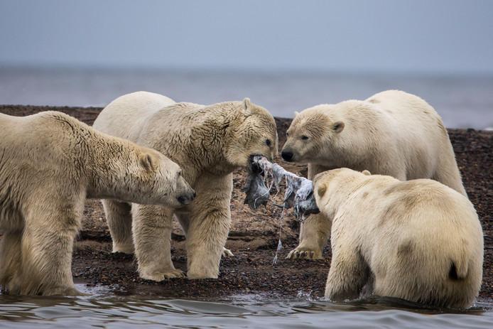 Een groep ijsberen vechten om de resten van een Groenlandse walvis