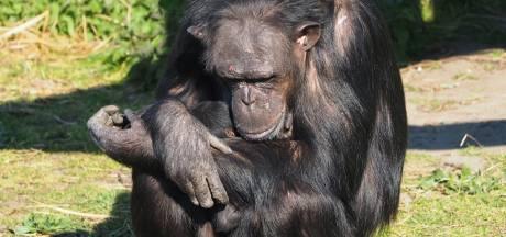 Beschuit met muisjes in Beekse Bergen: chimpanseetje geboren