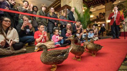"""De bizarste hoteljobs: """"Zijn enige taak: vijf eenden op een rode loper doen waggelen"""""""