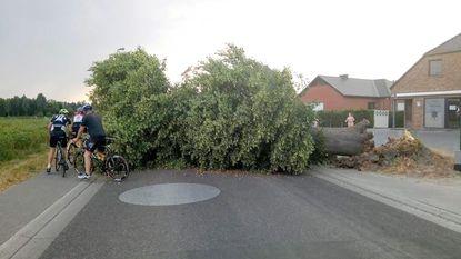 Laatste grote lindeboom van Budingen bezwijkt door hitte