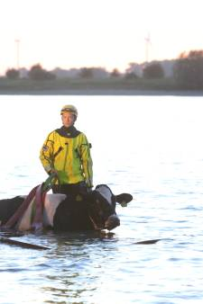 Koe uit het water getrokken bij Hurwenen