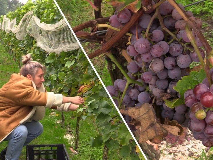 Vrijwilligers helpen bij druivenpluk wijngaarden: 'Lekker even buiten zijn'
