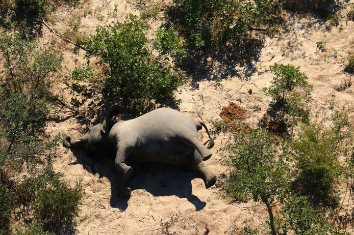 """This image provided on July 3, 2020 courtesy of the National Park Rescue charity shows the carcass of one of the many elephants which have died mysteriously in the Okavango Delta in Botswana. - Hundreds of elephants have died mysteriously in Botswana's famed Okavango Delta, the wildlife department said on July 2, 2020, ruling out poaching as the tusks were found intact. The landlocked southern African country has the world's largest elephant population, estimated to be around 130,000. (Photo by - / NATIONAL PARK RESCUE / AFP) / RESTRICTED TO EDITORIAL USE - MANDATORY CREDIT """"AFP PHOTO /NATIONAL PARK RESCUE"""" - NO MARKETING - NO ADVERTISING CAMPAIGNS - DISTRIBUTED AS A SERVICE TO CLIENTS"""