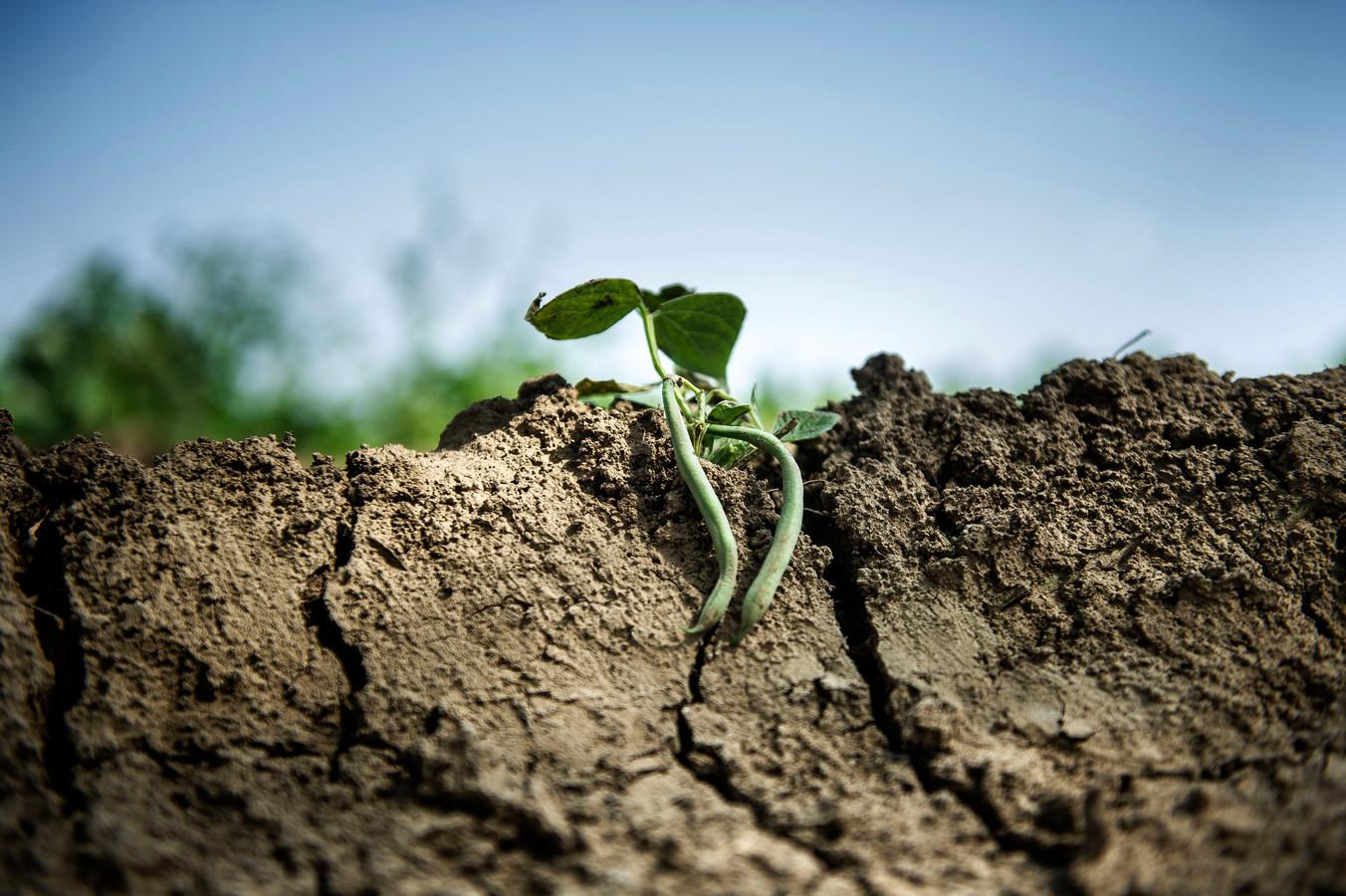 Droge akker met bonen afgelopen zomer. Als het de komende weken ook droog blijft, starten sommige boeren het groeiseizoen met een beregeningsverbod.