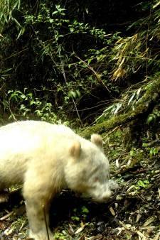 Un panda albinos photographié en Chine
