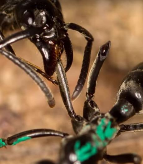 'EHBO-mieren' verzorgen gewonde soortgenoten na gevecht
