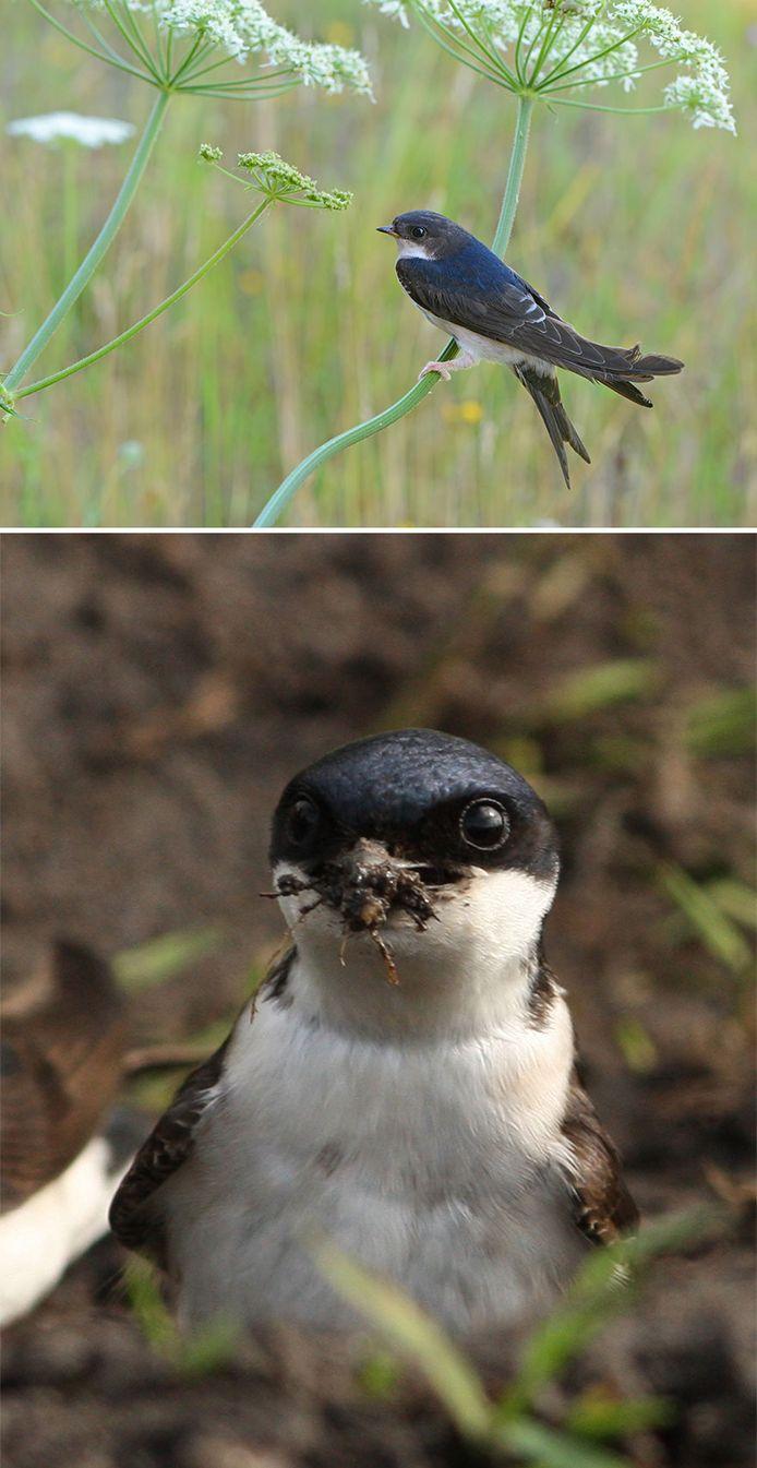 Huiszwaluw.
