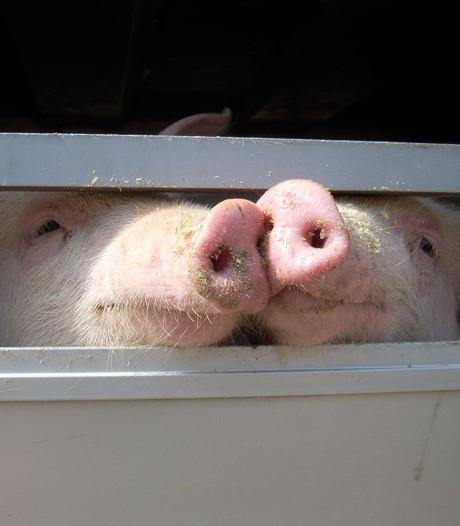 Horrorslachthuis Tielt slacht voorlopig geen varkens meer
