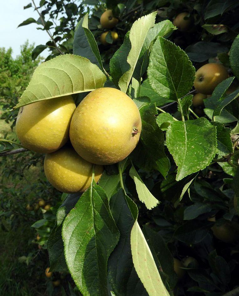 Ciderappels in de boomgaard van Stassen in het Belgische Aubel. Beeld Herman Stil