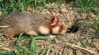 CSI voor bescherming van wilde hamsters