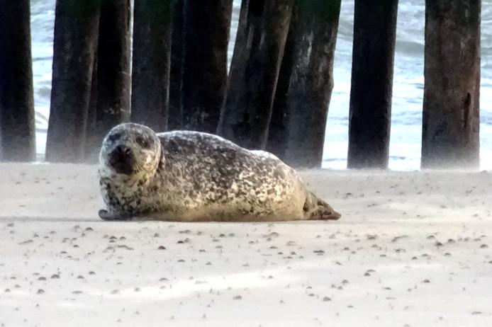 gezond zeehondje wat even uitrust en tevens e en scrub-behandeling ondergaat vanwege het stuifzand