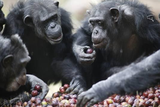 ARNHEM - Uitstekend te pruimen, vinden de chimpansees en ringstaartmaki's van Burgers' Zoo in Arnhem, die pruimen van teler Frederik Bunt uit het Betuwse Slijk-Ewijk.