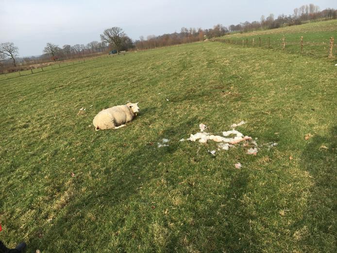 Eén van de schapen in de wei in Groesbeek.