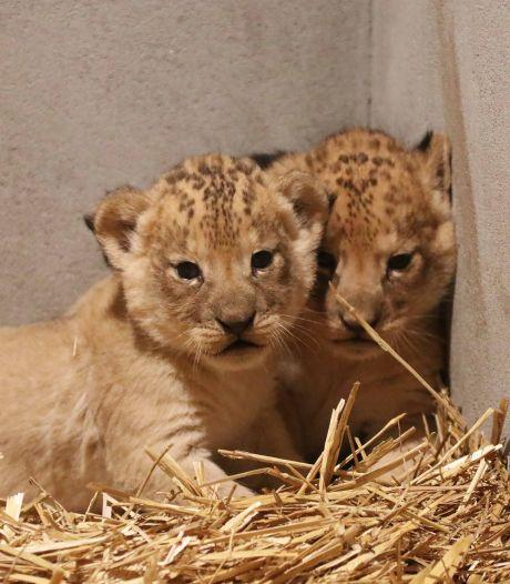 Hiep, hiep! DierenPark Amersfoort is twee leeuwenwelpjes rijker