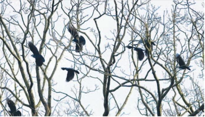 Een roekenkolonie. Foto archief Yvonne Pieters