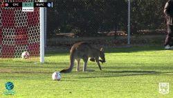 Koppige kangoeroe verstoort voetbalmatch en waant zich even doelman