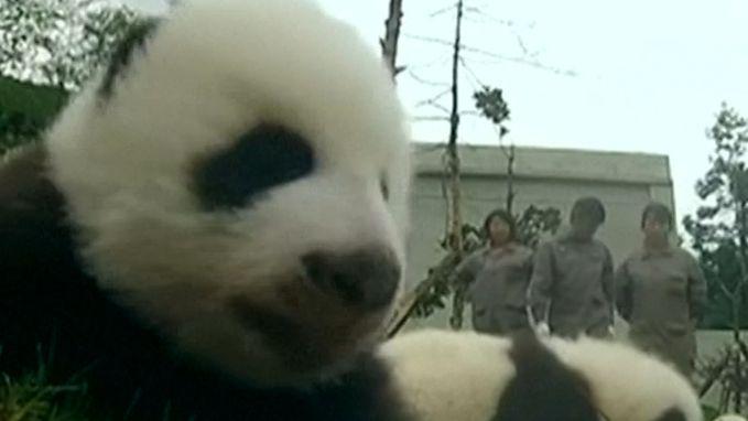 Babyboom bij de panda's in China