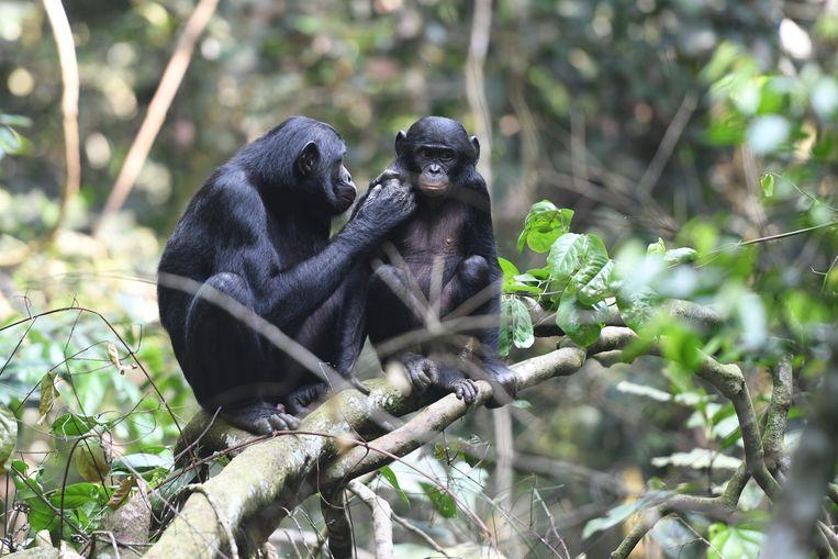 Jong bonobo-mannetje wordt verzorgd door moeder in natuurpark in Congo. Beeld Martin Surbeck