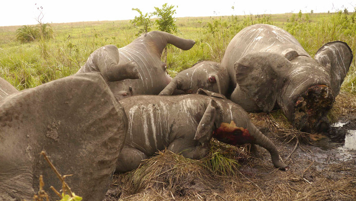 Les massacres d'éléphants continuent dans le parc de la Garamba (Congo, archives)
