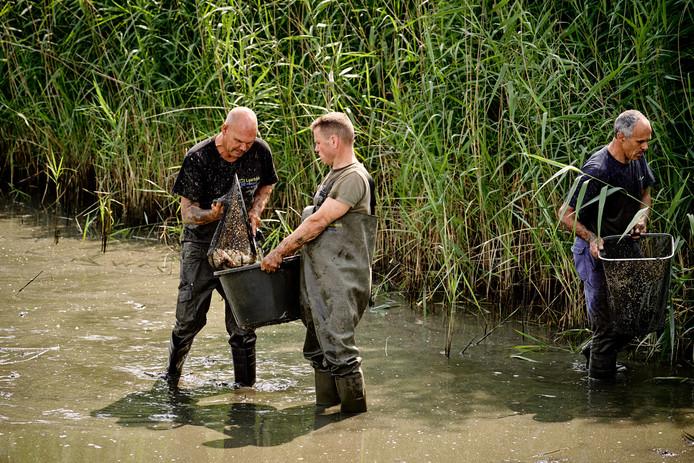Medewerkers van de gemeente Laarbeek zijn bezig de vissen te vangen.