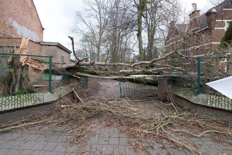Een boom viel pal op de poort van basisschool Lyceum in de Caputsteenstraat in Mechelen