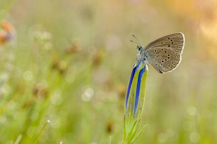 Het Gentiaanblauwtje legt haar eitjes alleen op de bloemknoppen van de klokjesgentiaan. Door een toename van stikstof in de natuur dreigen zowel de vlinder als het plantje te verdwijnen.