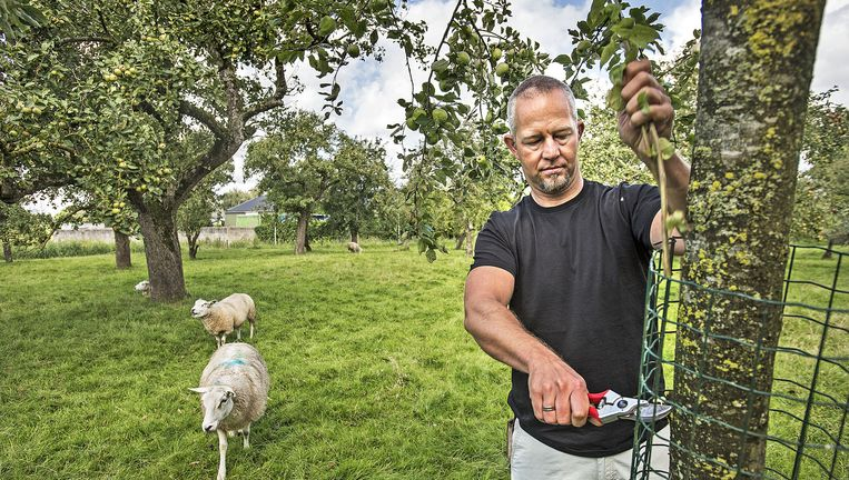 Hoogstamspecialist Wouter den Boer aan het werk in een boomgaard in Haastrecht. Beeld Guus Dubbelman