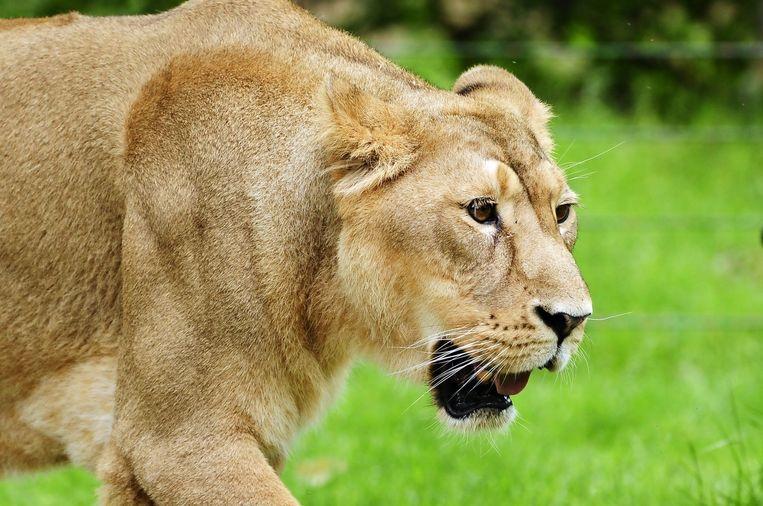 Archiefbeeld (niet de doodgeschoten leeuw).